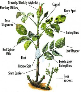 Garden-Pests-And-Diseases