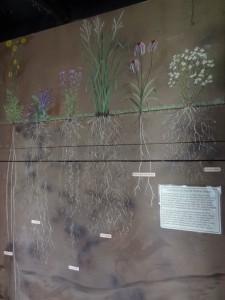 Prairie Plants & Roots Diagram